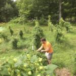 Picking hops