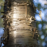 Tim's favorite (well, one of) tree, a yellow birch