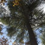 gorgeous white pine